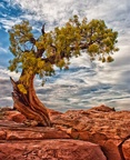 DSC07511-1-Lonely-Juniper-tree