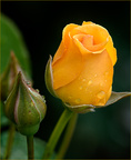 DSC0128 Yellow Rose and Bud 6-13